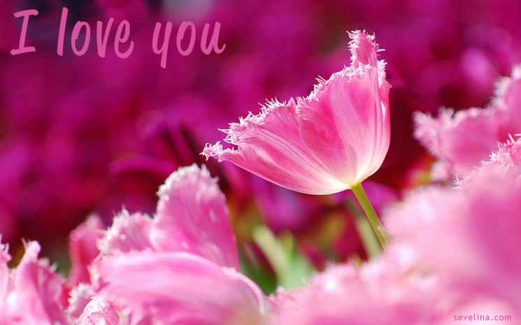valentine day romantic-wallpaper 2014 pink-flowers-tulips